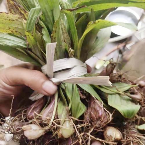 云南/贵州适合种植什么药材? 冰球子(种苗)可以参考