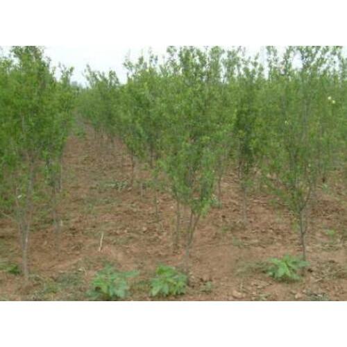 今年石榴树苗市场批发价_适合在哪些地方种植,季节