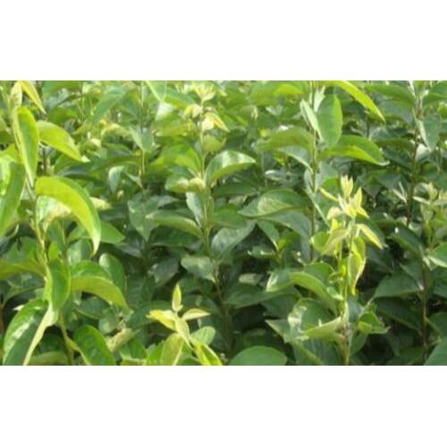 种植君迁子、野柿子、牛奶枣、黑枣多久挂果_苗多少钱