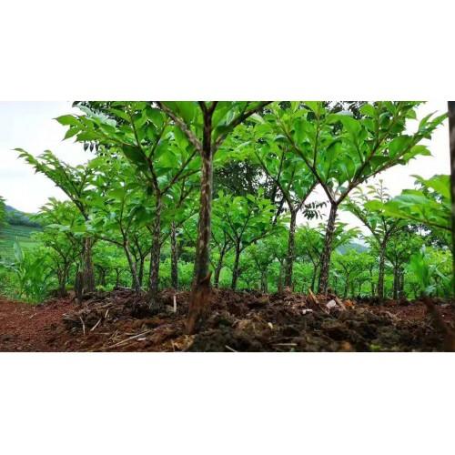 出售优质魔芋种子,提供技术指导,签订回收合同