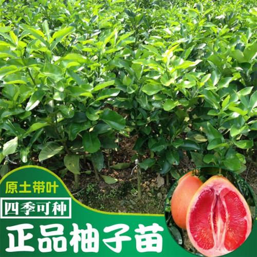 1棵产区三红蜜柚苗多少钱?怎么种植才能赚钱