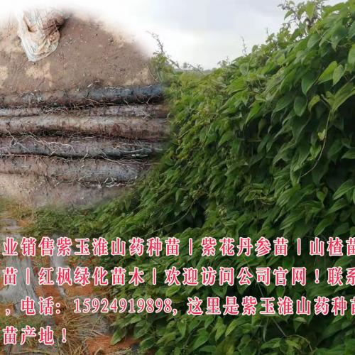 2019山药价格&山药供应_云南山药行情批发市场