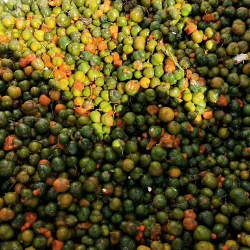 大量黄精种子和重楼种实地考察
