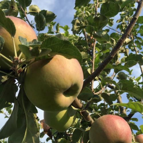 今年苹果苗多少钱?_怎么种植才能赚钱