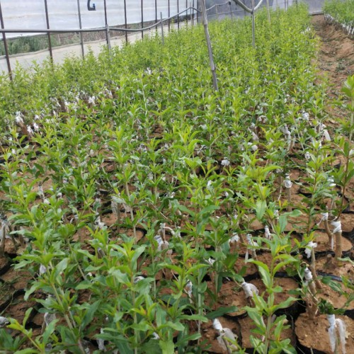今年软籽石榴树苗_一棵般多少钱?有哪些好品种