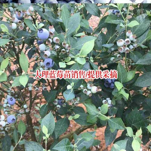 一棵蓝莓树苗多少钱_兔眼蓝莓.高丛蓝莓.蓝莓苗品种好