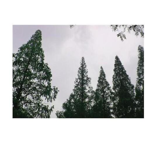 水杉每株多少钱一棵?