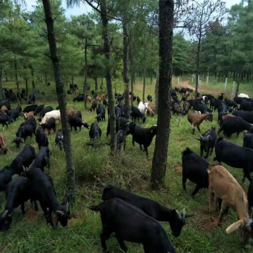 黑山羊养殖项目_投资怎么样,能赚钱吗?