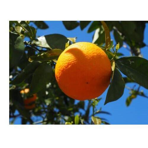 近期柑橘树苗价钱多少钱一株|种植季节|如何能赚钱