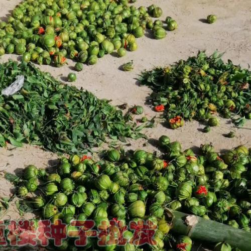 滇重楼家种技术资料_适合滇西和滇西北滇种植的重楼种子