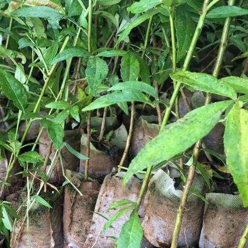 大红袍花椒60公分多少钱?100公分30公分多少钱?