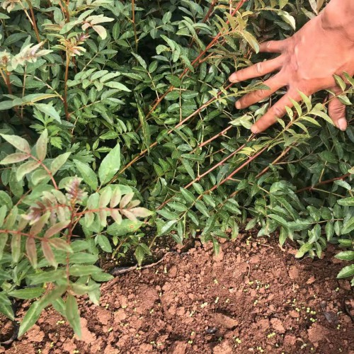 目前花椒苗价格怎么样?花椒种植能赚钱吗