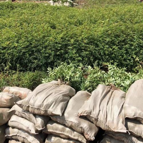 大红袍,贡椒,袋苗,裸根苗,九叶青花椒树苗_种植方法_移栽种植技术