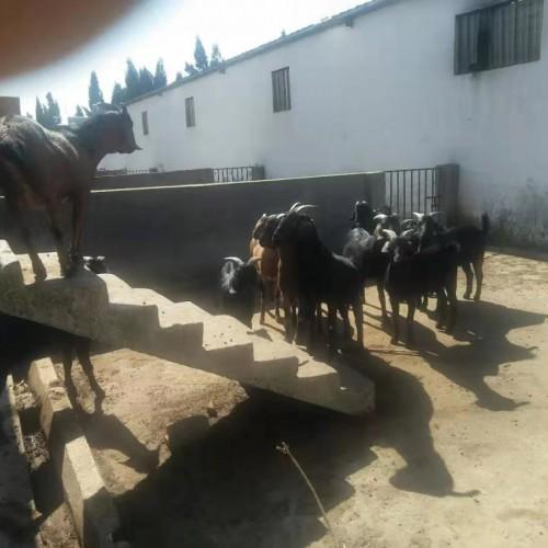 黑山羊种苗多少钱一只?重庆、山西、山东黑山羊种苗批发价格表