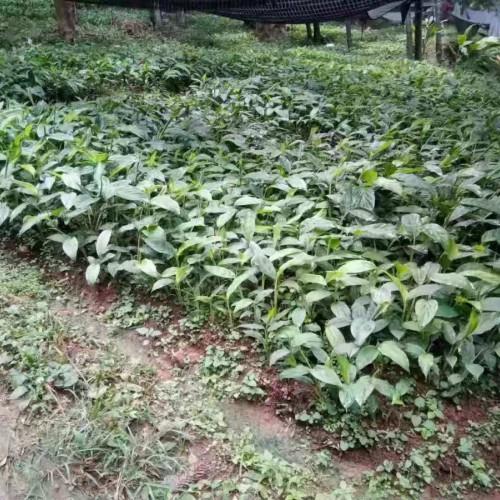 草果种植网_繁育草果的方法2020