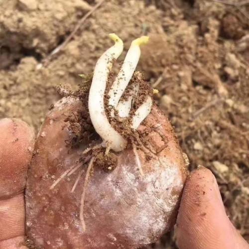 土豆底肥用什么&云南马铃薯追肥使用方法钾肥