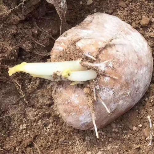 目前马铃薯价钱大药多少钱?种植用什么肥才好?