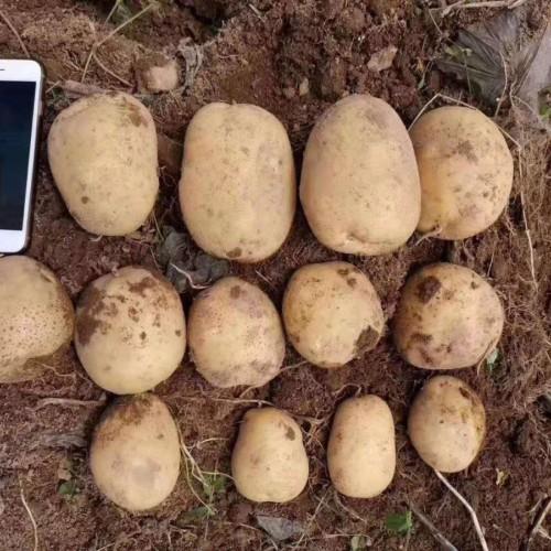 马铃薯高丰产用肥&土妈妈图片专用肥展示