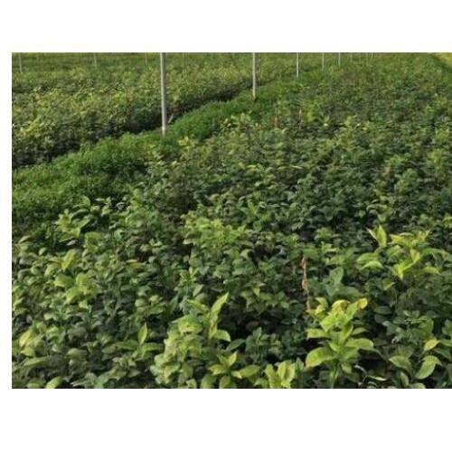 无核的沃柑树苗多少钱一棵?怎么种植好