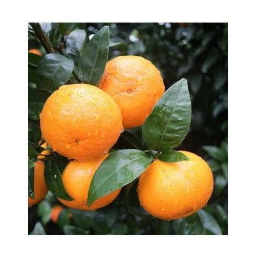 今年沃柑苗行情多少一株,适合云南种植的沃柑苗