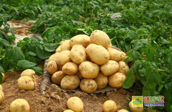 土豆别名叫什么