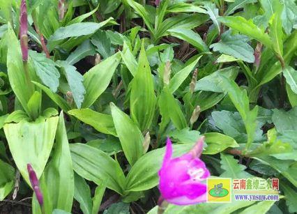 紫花白芨种苗价格