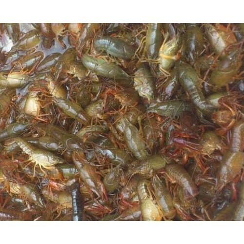 小龙虾投资多少钱?小龙虾养殖收益怎样?