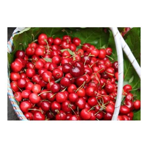 樱桃市场行情报价中心_樱桃一亩地收入多少?