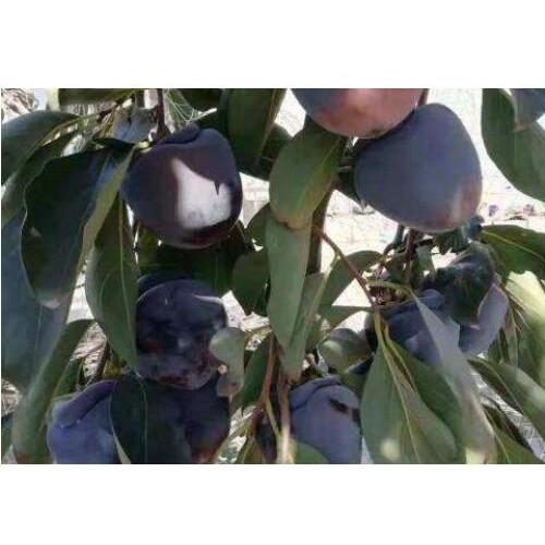 目前黑柿子行情多少钱一斤_种植市场前景分析-雷正荣柿子苗