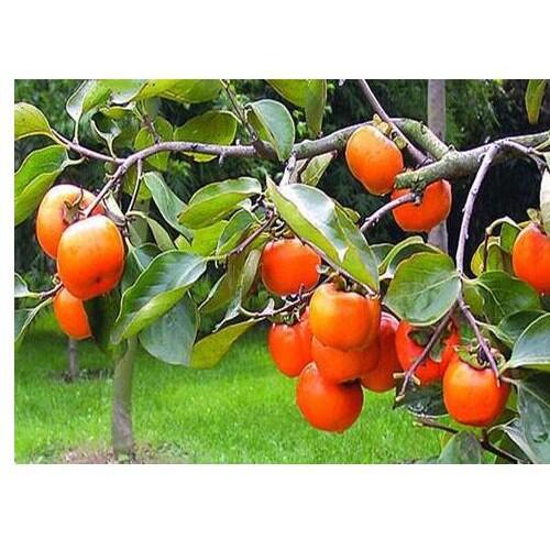 盆栽柿子树怎么种植_云南雷正荣柿子苗多