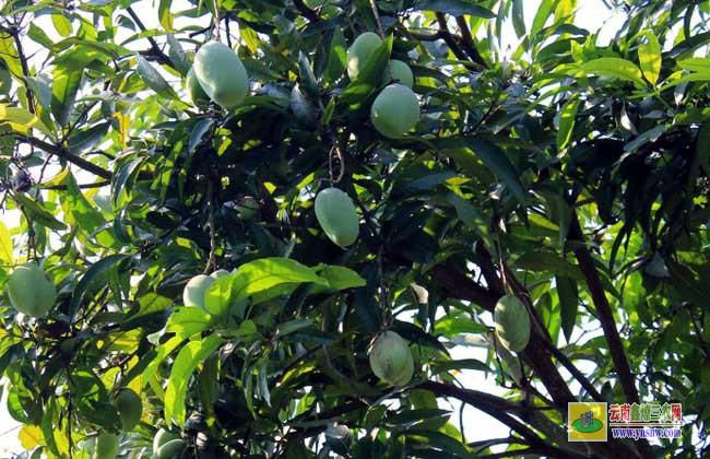 芒果树苗几年可以结果