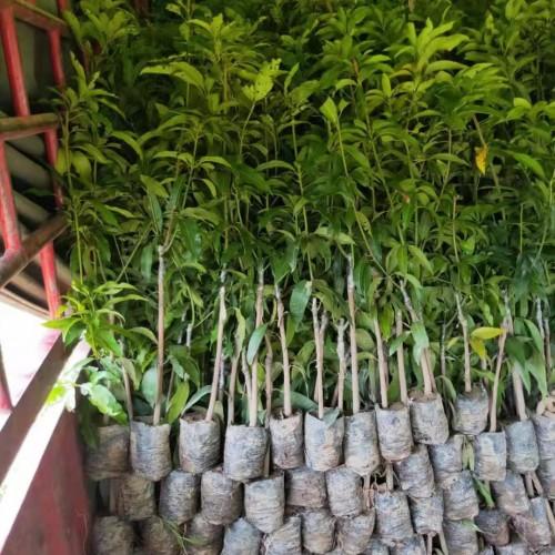 什么是台农芒果苗,几月份成熟,怎么种植能赚钱?