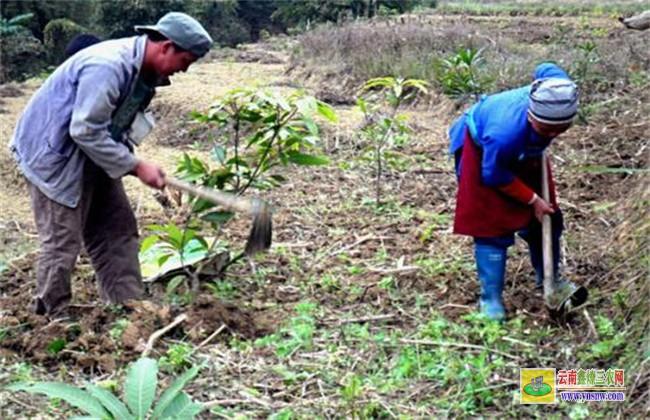 芒果的种子育苗技术