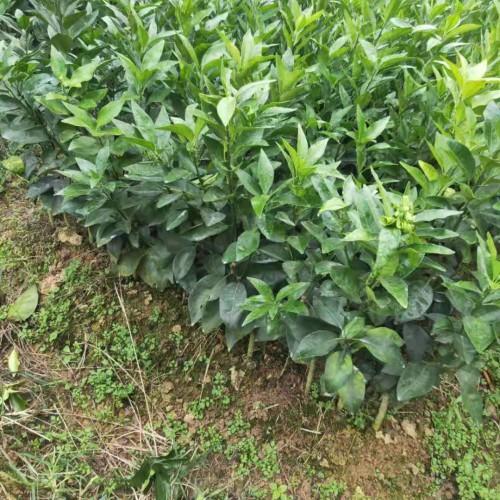 沃柑苗_沃柑几月份成熟,有什么特点-辉煌沃柑苗