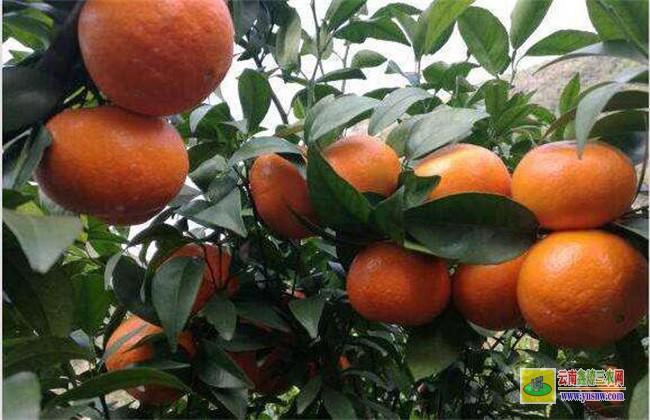 沃柑 种植 方法