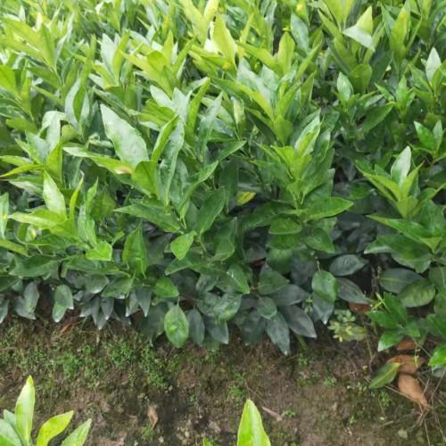 2020年广西沃柑苗价格 每亩种植120-140株 
