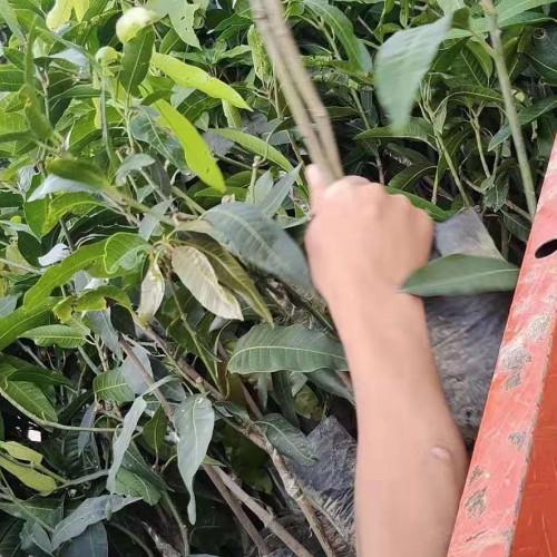 广西、云南凯特芒苗批发零售价|什么是凯特芒果树幼苗