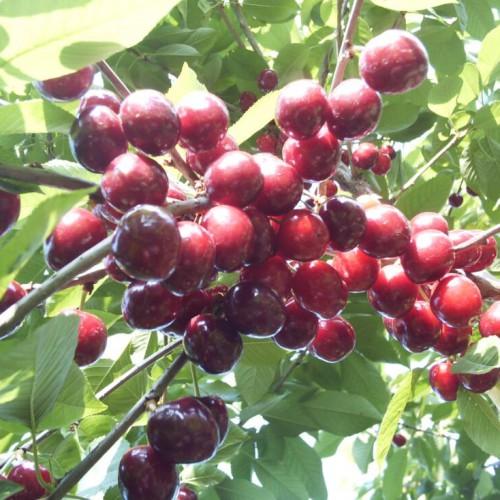 矮化大樱桃苗销售基地_矮化大樱桃几年结果