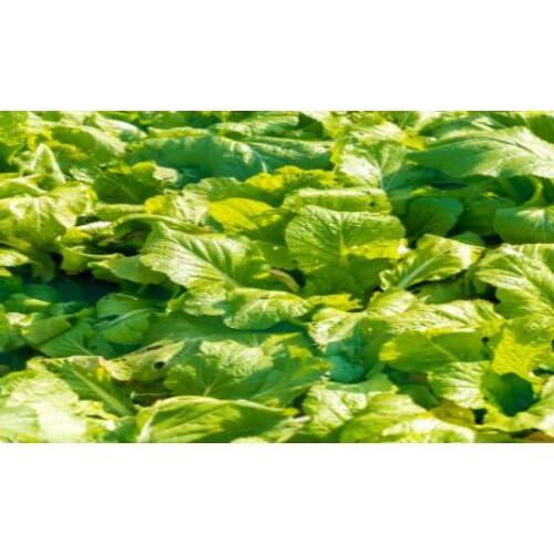 翠绿色无公害蔬菜栽种