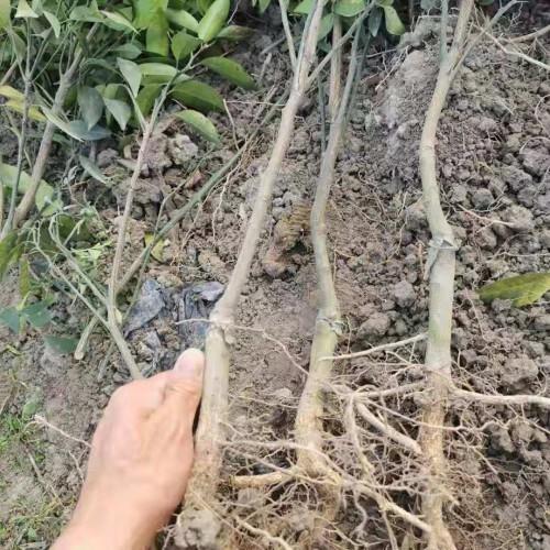 桔子的种植管理方法_桔子的盆栽种植管理方法