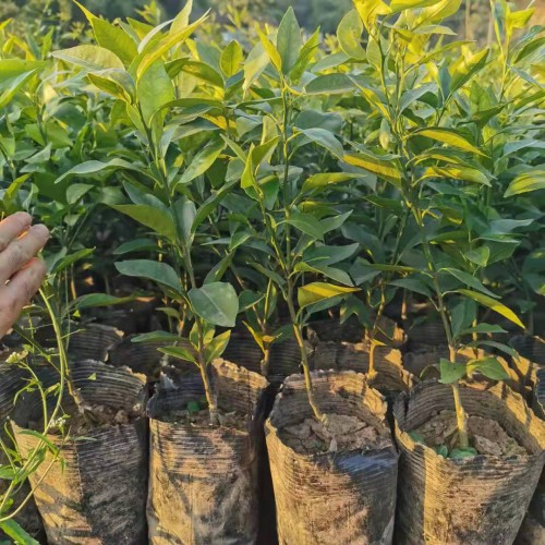 现阶段销售市场上较为挣钱的桔子种类有什么?