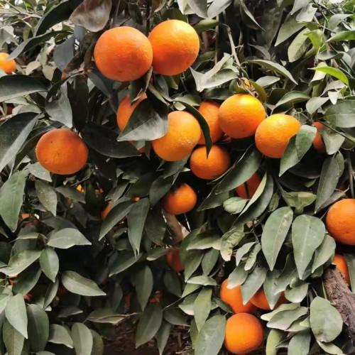 """""""冬天新鲜水果""""桔子的存储和冷藏方式!种植户必读!"""