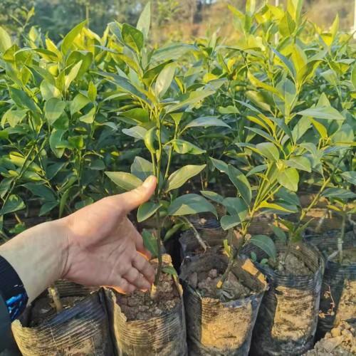 北方地区和家中能够 栽种桔子树吗?幼苗价钱要多少钱一棵?何时结果实?怎样剪修?