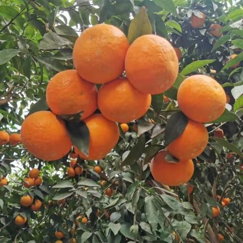 柑桔收购价怎样?多少钱一斤?它和桔子有什么不同?如何存储冷藏?附市场需求分析