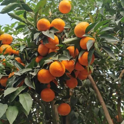柑桔亚属桔子籽能种盆栽吗?种多长时间会出芽?如何种?