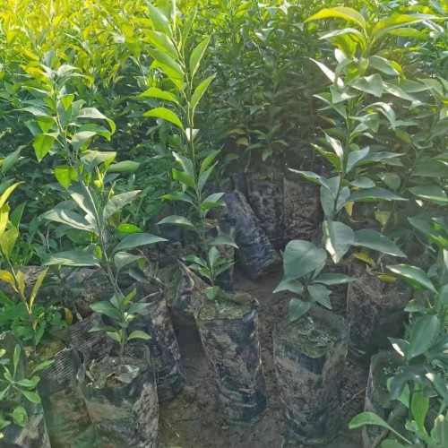 桔子树能活是多少年?栽种几年能够结果实?