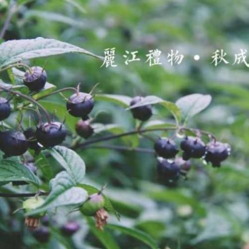 云南秋成红果参(蜘蛛果)规模化基地种植红果参水果、红果参苗
