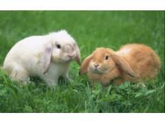 宠物兔品种介绍