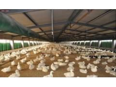 枫叶鸭养殖技术