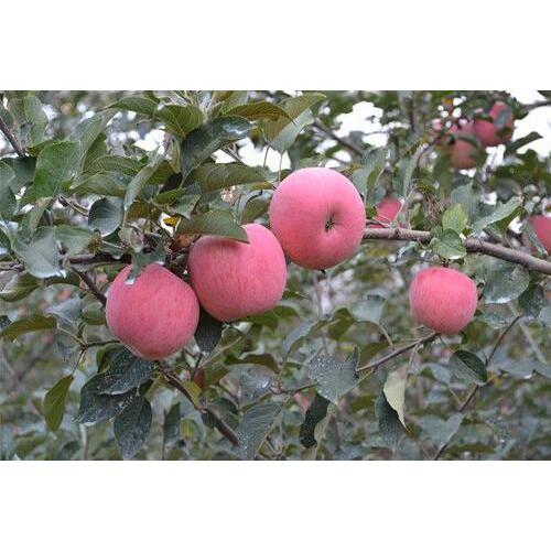 丽江苹果多少钱一斤?纯正的有什么特点?